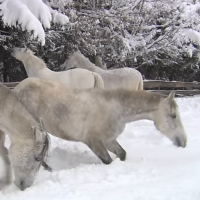 Auf weißen Pferden